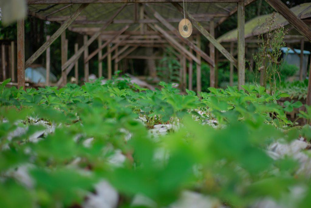 Plantação de morangos em slabs. Créditos: Pablo Pereira