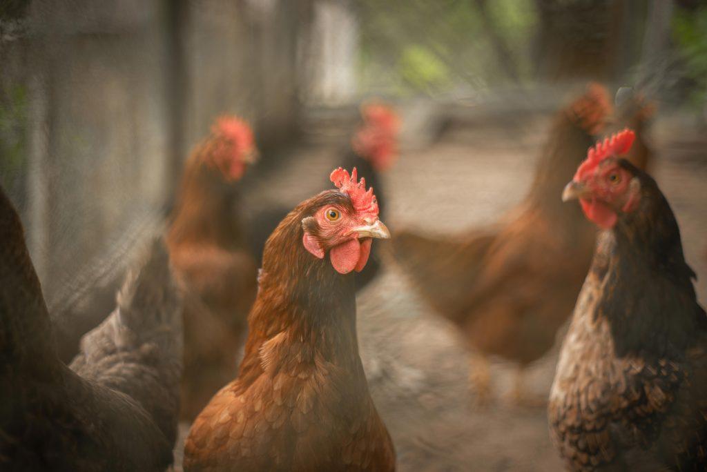Criação de galinhas. Créditos: Pablo Pereira.
