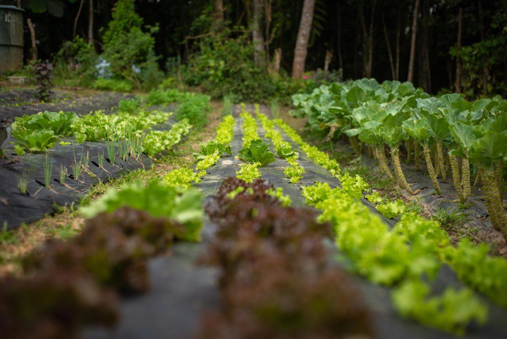 A horta de Bernardete: variedade de alfaces. Créditos: Pablo Pereira.