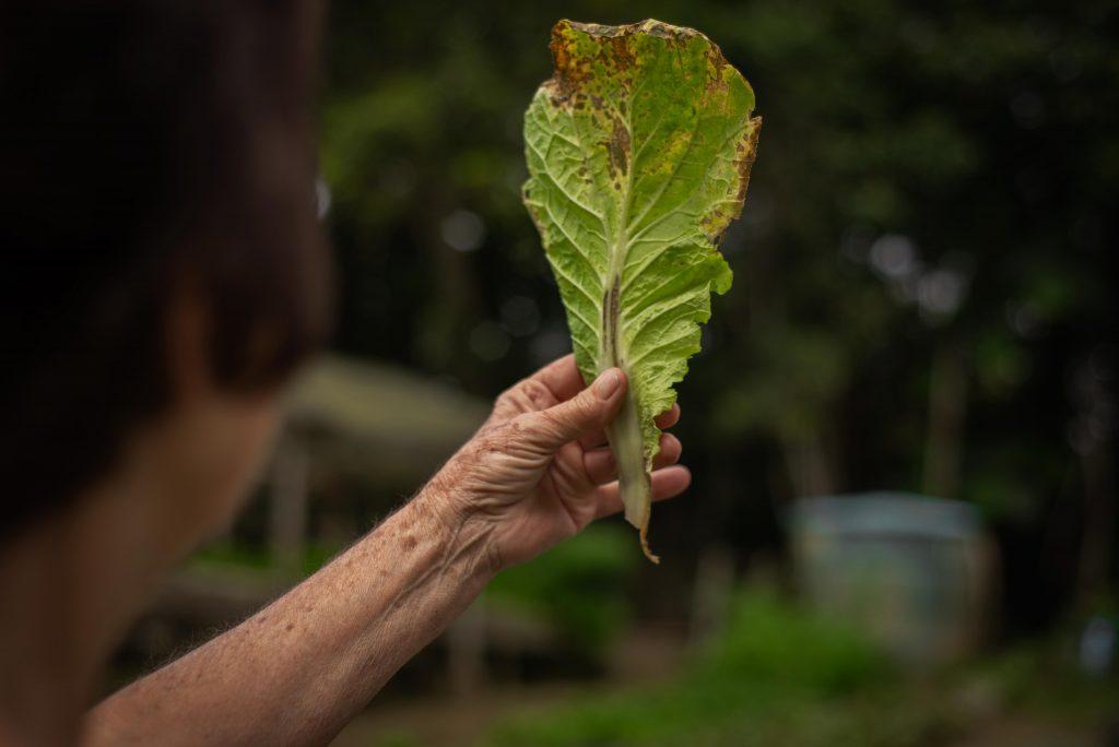 Folha de acelga e evidências das pragas que surgem na plantação. Créditos: Pablo Pereira.