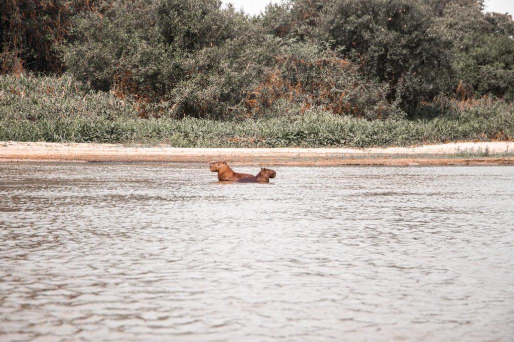 Animais  se refugiando no lago. Crédito: Pedro Becker
